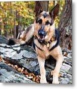Shepherd In The Fall Metal Print