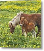 Shetland Pony Foal In Marsh Marigold Metal Print