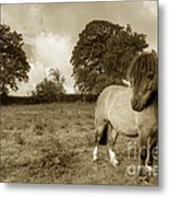 Shetland Pony  Metal Print