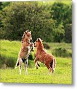 Shetland Pony's Metal Print