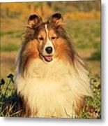 Shetland Sheepdog Metal Print