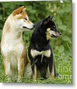 Shiba Inu Dogs Metal Print