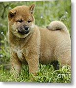 Shiba Inu Puppy Dog Metal Print