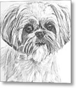 Shih Tzu Portrait In Charcoal Metal Print by Kate Sumners