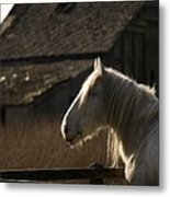 Shire Horse Metal Print