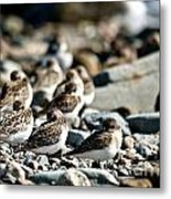 Shorebird Rest Time Metal Print