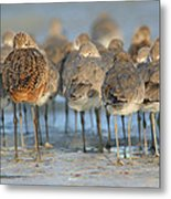 Shorebirds At Flamingo Bay Metal Print