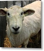 Shorn Sheep Metal Print