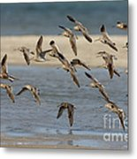 Short-billed Dowitchers Flying Metal Print