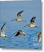 Short-billed Dowitchers In Flight Metal Print