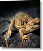 Short Horned Lizard Metal Print