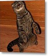 Shorthair Scottish Fold Cat Metal Print