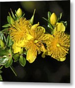Shrubby St Johnswort Dsmf094 Metal Print