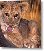 Shy African Lion Cub Wildlife Rescue Metal Print