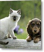 Siamese Kitten And Dachshund Puppy Metal Print