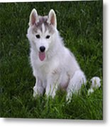 Siberian Huskie Pup Metal Print