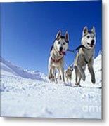 Siberian Husky Dogs Metal Print