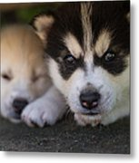 Siberian Husky Pups Metal Print by Benita Walker