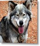 Siberian Husky With Blue And Brown Eyes Metal Print
