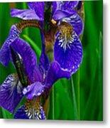 Siberian Iris Metal Print