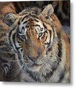 Siberian Tiger Metal Print by Brett Geyer
