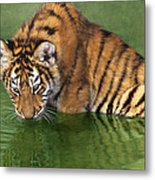 Siberian Tiger Cub In Pond Endangered Species Wildlife Rescue Metal Print
