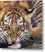Siberian Tiger Cub Panthera Tigris Altaicia Wildlife Rescue Metal Print