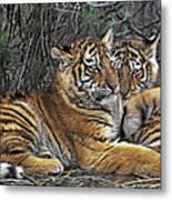Siberian Tiger Cubs Endangered Species Wildlife Rescue Metal Print
