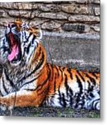 Siberian Tiger Nap Time Metal Print