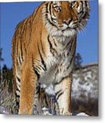 Siberian Tiger No. 1 Metal Print