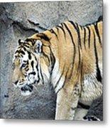 Siberian Tiger Panthera Tigris Altaica Usa Metal Print