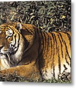 Siberian Tiger Stalking Endangered Species Wildlife Rescue Metal Print