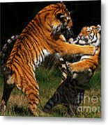 Siberian Tigers In Fight Metal Print