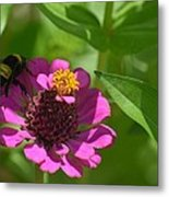 Side-saddled Bee Metal Print