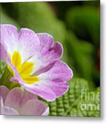 Side View Of A Spring Pansy Metal Print
