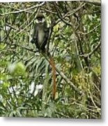 Silly Red-tailed Monkey Metal Print