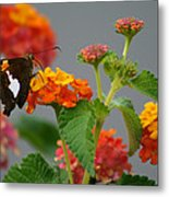 Silver-spotted Skipper Butterfly On Lantana Blossoms Metal Print