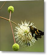 Silver-spotted Skipper On Buttonbush Flower Metal Print