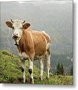 Simmental Cow On Alp In Bernese Metal Print