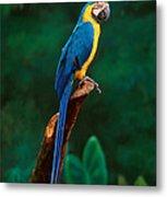 Singapore Macaw At Jurong Bird Park  Metal Print