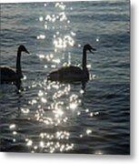 Singing Trumpeter Swans Duet  Metal Print