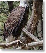 Single Bald Eagle Metal Print