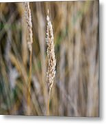 Single Blade Of Tall Field Grass Metal Print
