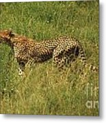 Single Cheetah Running Through The Grass Metal Print