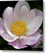 Single Peonie  8444 Metal Print