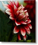 Single Red Dahlia Metal Print