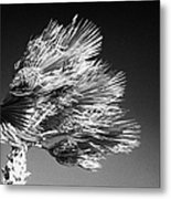 single top of Palm Tree blowing in a very strong wind against a blue sky Tenerife Canary Islands Spain Metal Print
