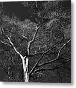 Single Tree With New Spring Leaves In Black And White Metal Print