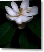 Sweet White Magnolia Bloom Metal Print