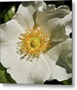 Single White Rose Db Metal Print